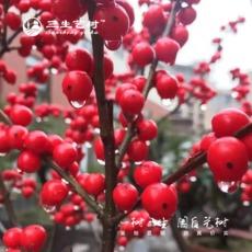 三生艺树基地批发红果冬青盆栽观果红果庭院耐寒植物欧洲红果冬青