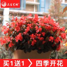 海棠花盆栽花卉观花植物室内花好养四季开花的花绿植四季海棠花
