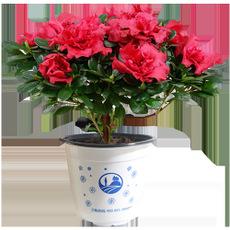 杜鹃花盆栽四季开花不断带花苞比利时杜鹃室内阳台庭院花卉植物
