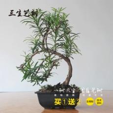 批发雀舌罗汉松盆景室内盆栽造型植物公室好养四季常青净化空气