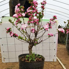 长寿冠海棠花大苗盆栽重瓣日本贴梗盆景树四季开花不断海棠带花苞
