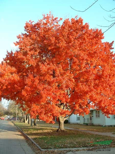 美国红枫树