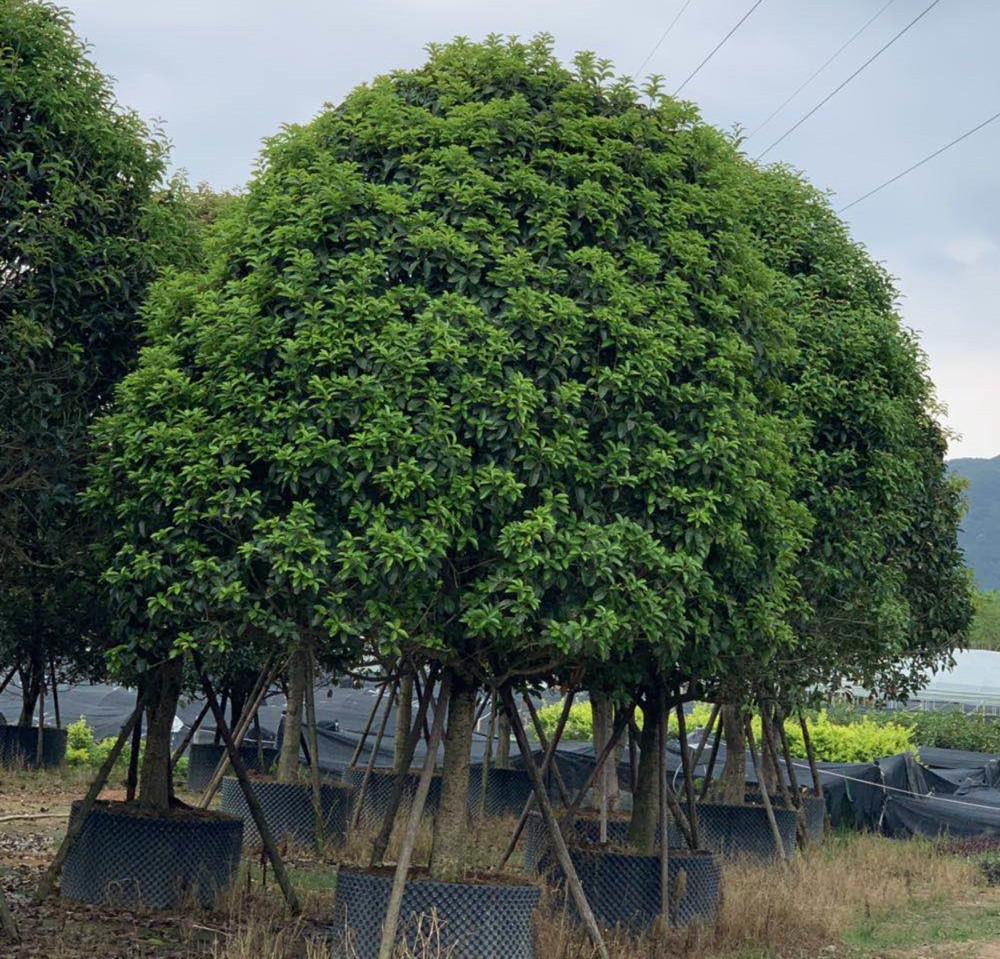 桂花 庭院浓香花卉 四季常青植物