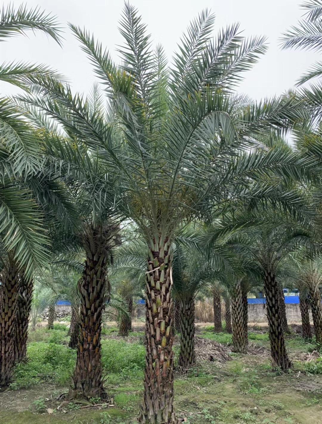 中东海枣树供应