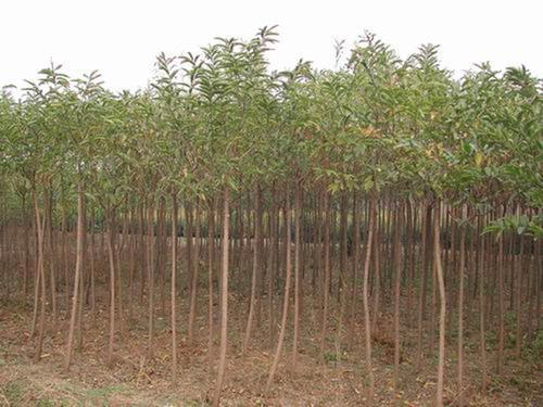 出售桃叶卫矛树2-5公分 丝棉木独干球 桃叶卫矛播种小苗