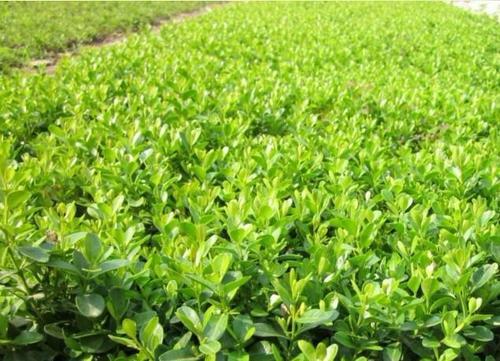 出售小叶黄杨播种小苗 黄杨多分支工程苗 小叶黄杨营养杯苗