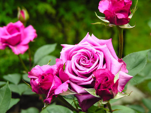 出售蔷薇粉花营养杯苗20-60公分高 蔷薇红花营养杯苗