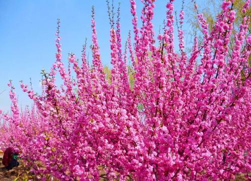低价供应绿叶榆叶梅 美人梅 重瓣榆叶梅工程苗