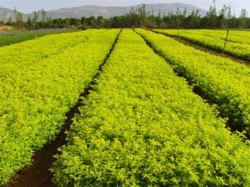 大量供应东北连翘工程苗 连翘绿篱苗 东北连翘