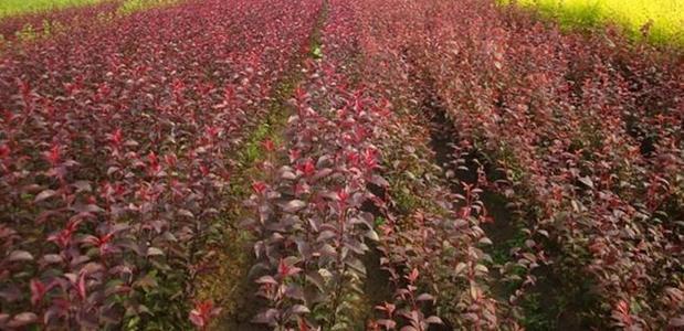 供应优质 大叶速生紫叶稠李 加拿大红樱 紫叶稠李4-9公分