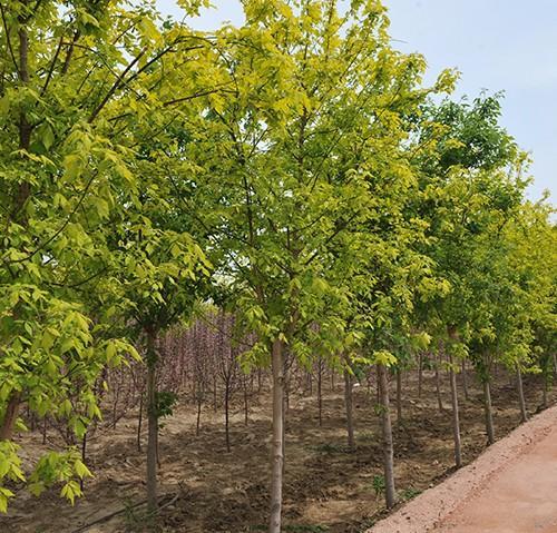 供应金叶复叶槭小苗 金叶糖槭扦插苗 金叶复叶槭1-1.6米 糖槭小苗