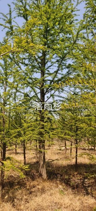 速生大型水杉树苗落羽杉