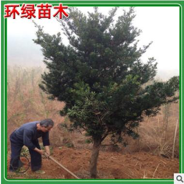 湖南苗圃供应罗汉松常绿乔木10-15cm原生罗汉松树基地直销价格