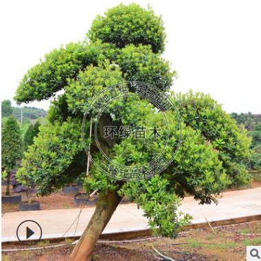 批发供应造型杨梅庭院绿化优选造型树基地直销量大价优