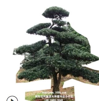 批发罗汉松造型树 15公分精品造型罗汉松 10cm原生罗汉松树