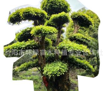 批发园林绿化工程景观树常年供应造型椤木石楠量大价优