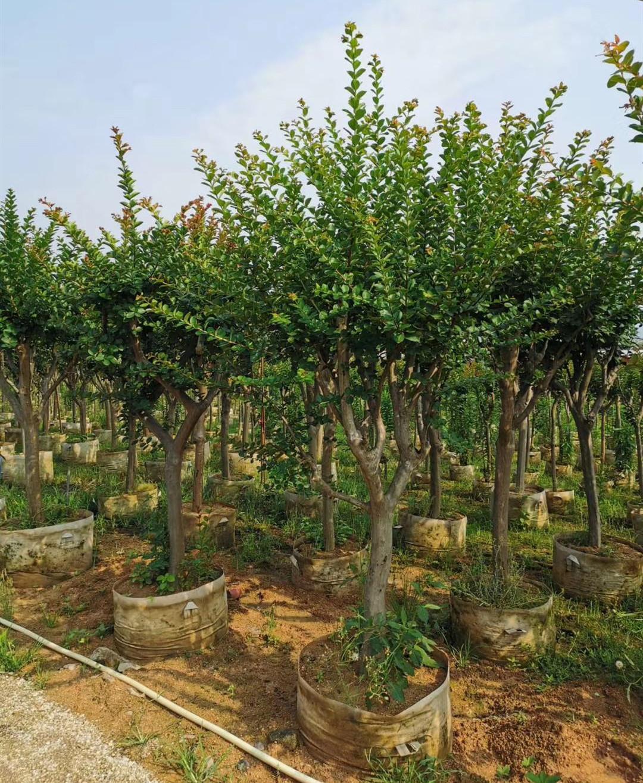紫薇3~12公分 四季常青 风景树木 漳州基地直销