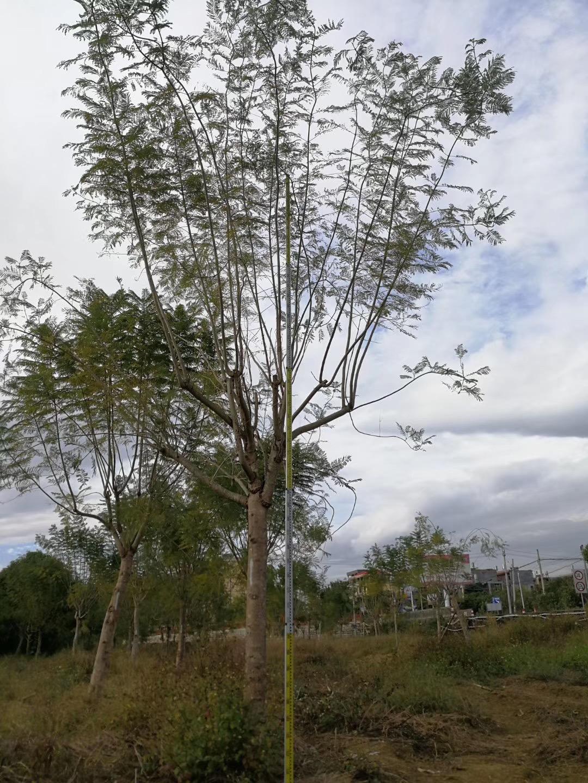 蓝花楹12~30公分 庭院街道风景树木 漳州基地直销