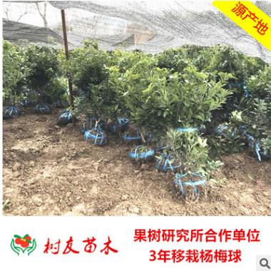【树友】3年移栽东魁杨梅球树苗 结果杨梅树杨梅种苗 果树苗木