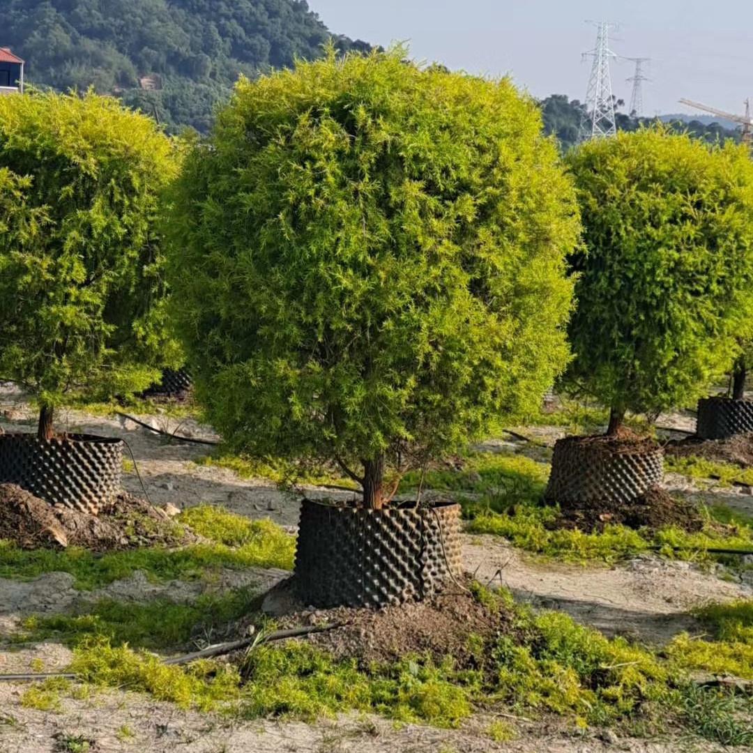 黄金宝树80~2米 漳州基地直销