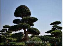 造型罗汉松|湖南浏阳柏加苗木基地