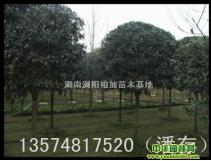 丹桂 湖南浏阳柏加苗木基地