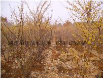 腊梅|湖南浏阳柏加苗木基地