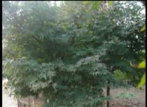 红枫|湖南浏阳柏加苗木基地