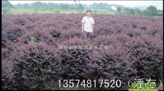 红花继木球 湖南浏阳柏加苗木基地