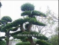 榆树桩|湖南浏阳柏加苗木基地