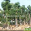 香樟|湖南浏阳柏加苗木基地
