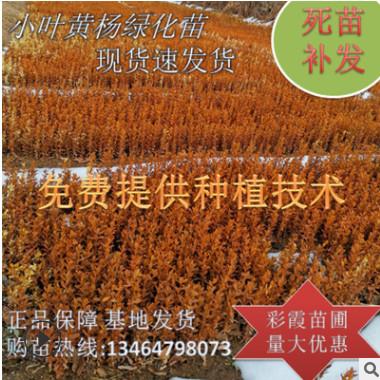 大小叶黄杨 绿植盆景造型 黄杨球 绿景观绿化工程 四季常青绿化苗