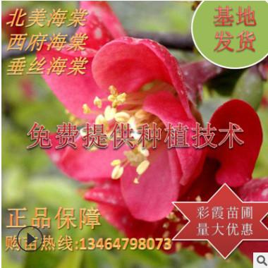 红花海棠 北美海棠盆栽地栽垂丝海棠重瓣双瓣海棠花粉白红海棠花