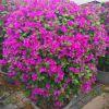 三角梅(勒杜鹃)40~2米 漳州基地直销 庭院街道绿化