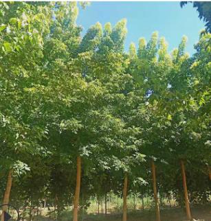 山东泰安基地出售8公分以上美国红枫 量大优惠
