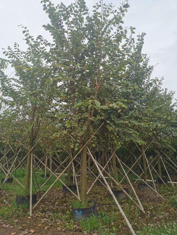 宫粉紫荆10~15公分园林景观 漳州基地直销