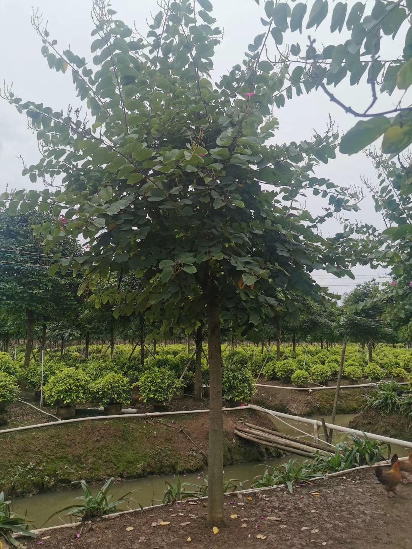 红花紫荆8~15公分 漳州基地直销