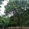 晋城国槐价格城市绿化