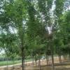 保山国槐价格花木种植基地