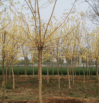 黄金槐基地 园林绿化苗木种植求购黄金槐 山东苗木基地 黄金槐吧