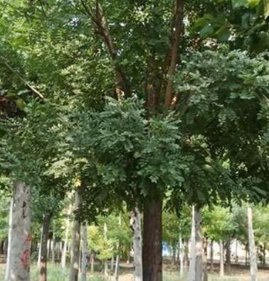 山东苗木种植基地 12公分原生冠国槐树基地现货 速生国槐树价格 国槐树小苗批发价格