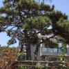 山东造型松 造型松基地直销 造型油松价格优惠 山东景观园林绿化苗木
