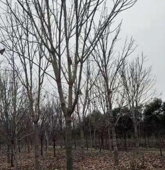 七叶树 乔木七叶树七叶树最新价格