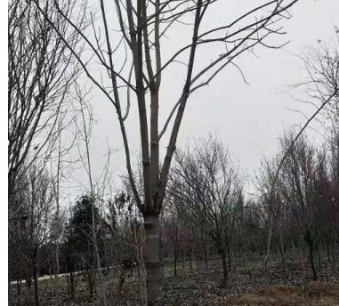 七叶树基地供应七叶树15-20公分七叶树行道树