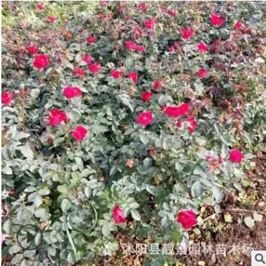 绿化工程苗红帽月季苗 规格齐全 丰花月季批发 种植耐寒成活率好