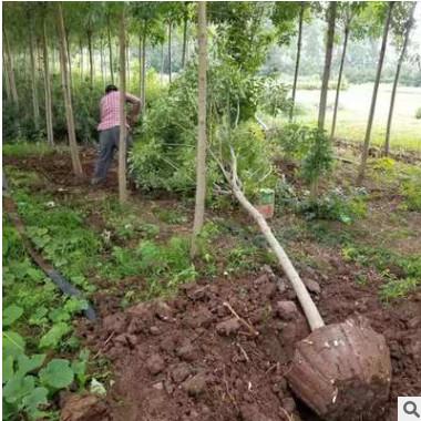 优质白蜡树白蜡5-10公分粗批发绿化工程行道树产地