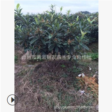 【树友苗木】5-6公分枇杷树 已结果壮年白沙枇杷树 果树苗木