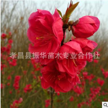 售红叶碧桃 碧桃树 紫叶碧桃 花期长 花色鲜红 生长速度快