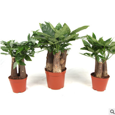 三杆发财树 室内盆栽发财树绿植花卉净化空气防辐射吸甲醛植物