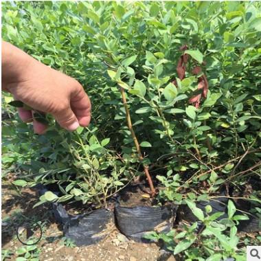 现货批发蓝丰蓝莓苗两年生优质蓝莓树苗价格蓝莓树苗品种齐全。